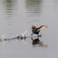 Бегущая по водной глади утка. :: Анатолий Клепешнёв