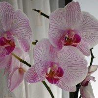 Бело-розовый :: Juliya Fokina