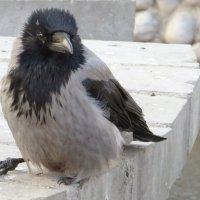 Птенец :: Ирина Олехнович