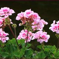 Цветок неприхотливый... :: Ольга Ламзина