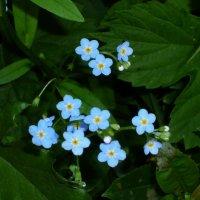 Голубые звёздочки :: Juliya Fokina