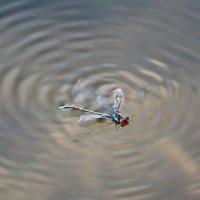 Похоже стрекоза в эту летнюю жару решила искупаться. :: Анатолий Клепешнёв