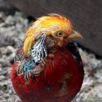 золотой фазан ,Chrysolophus pictus :: Laryan1