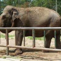 Слон обсыпает себя землёй :: Галина