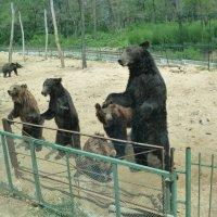 Медведи :: Галина