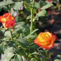 Розы :: Людмила Тарасова