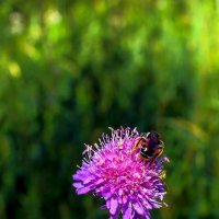 Пчела и цветок :: Юрий Стародубцев
