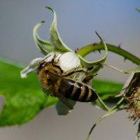 Worker bee :: Галина Головатая