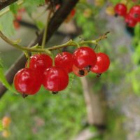 Рубином ягоды горят... :: ТАТЬЯНА (tatik)