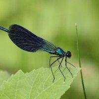 Calopteryx splendens :: Dr. Olver