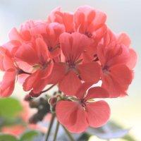 цветы герани :: Александр Корнелюк