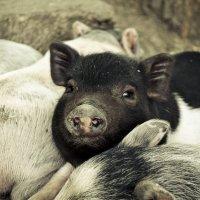 Свинка по имени Сонька :) :: Анна Григорьева