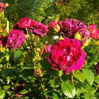 Прекрасные розы! :: Лия ☼