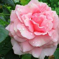 Розовая нежность в хрусталиках... :: Тамара (st.tamara)