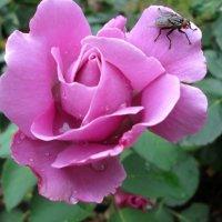 Роза с мушкой... :: Тамара (st.tamara)