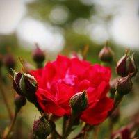дикая роза :: Юлия Грей