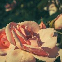 нежная роза :: Виктория грёZы