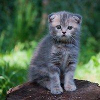 Кити - Шотландская вислоухая.... :: ®om@n Sokil