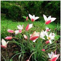 Любимые тюльпаны... :: Тамара (st.tamara)