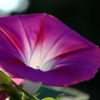 Розовый цветок :: Roman V