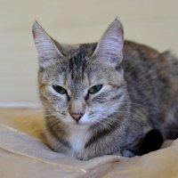 Японская Кошка :: Константин Шарун