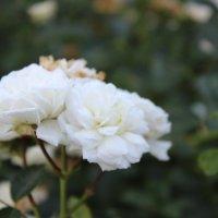 Розы :: Регина Корчагина