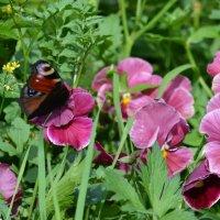 Бабочка на анютках :: Таня Фиалка