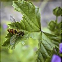 Мармеладная муха (Episyrphus balteatus) :: Барбара