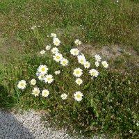 цветочки полевые :: BoxerMak Mak