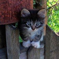Котёнок на заборе :: Татьяна