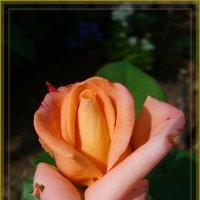 Роза для друзей :: Лидия (naum.lidiya)
