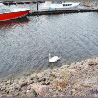Лебеди :: Lyubov Zomova
