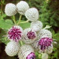 Квіти :: Христя Мельниченко