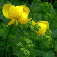 Солнечный цветок. :: Любовь Чунарёва