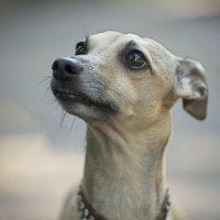 Знакомство с породой собаки Екатерины II :: MVMarina