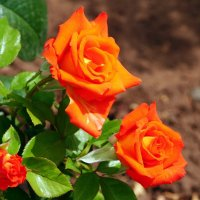 оранжевое трио :: Валерия Шамсутдинова