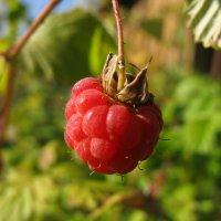 Сладкая ты моя, ягодка-малинка... :: ТАТЬЯНА (tatik)