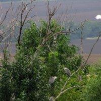 Цапли на деревьях :: Marina Timoveewa