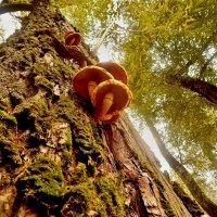 Грибы на дереве :: Milocs Морозова Людмила