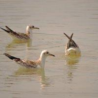 молодые озёрные чайки :: Михаил Жуковский