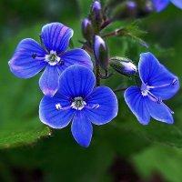 Небесная синева. :: Любовь Чунарёва