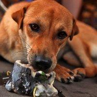 Вьетнамская собака :: Олег Лаврик