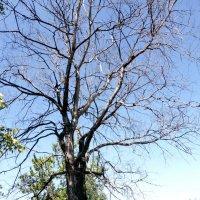 сухое дерево :: Алексей Логинов