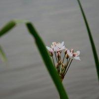 квітка :: Наташа Савостяник