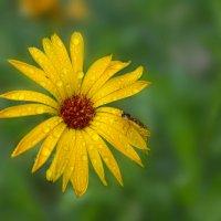 Есть в желтых цветах откровение жаркого лета :: Лидия Цапко
