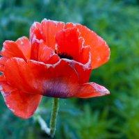 цветок страсти :: Светлана Павловская