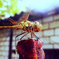Dragonfly :: Stephanie Plebeyskaya