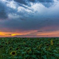 Про закат и подсолнухи... :: Александр Хорошилов