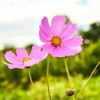 Дачный цветок :: юрий Амосов