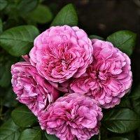 """""""Нас розы нежный аромат манит в мечтательные дали..."""" :: Валентина *"""